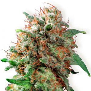 kali dog, kali dog marijuana strain