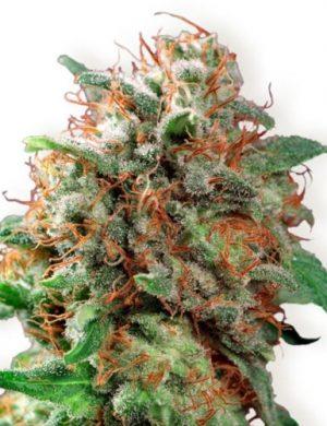 Kali Dog Cannabis Strain